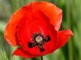 My contribution on the poppy season - 2