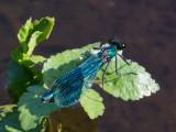 Dragonflies, Damselflies and smaller