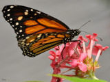 Papillons en Liberte Butterflies Mariposas
