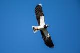 Kiebitz | Northern Lapwing | Vanellus vanellus