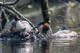 Haubentaucher | Great Crested Grebe | Podiceps cristatus