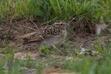 Feldlerche | Eurasian Skylark | Alauda arvensis