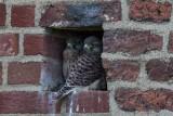 Turmfalke | Common Kestrel | Falco tinnunculus