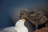 Silbermöwe| Herring Gull | Larus argentatus