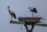 Weißstorch | White Stork | Ciconia ciconia