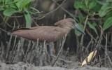 Scopidae (Hamerkop)