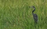 Ardea melanocephala - Black-headed Heron