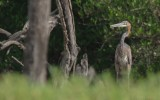 Ardea goliath - Goliath Heron