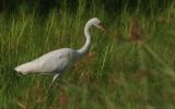 Ardea intermedia brachyrhyncha - Yellow-billed Egret