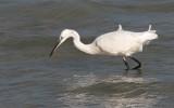 Egretta garzetta - Little Egret