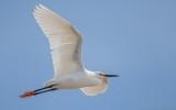 Egretta thula - Snowy Egret