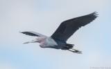 Egretta caerulea - Little Blue Heron