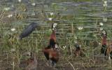 Egretta ardesiaca - Black Heron