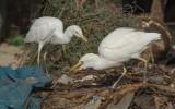 Bubulcus ibis - Cattle Egret