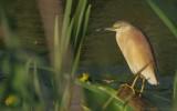 Ardeola ralloides - Squacco Heron