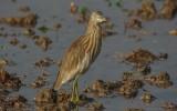 Ardeola grayii - Indian Pond-Heron