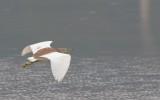 Ardeola speciosa - Javan Pond-Heron