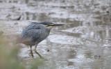 Butorides striata - Striated Heron