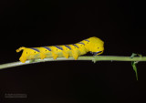 Doodshoofdvlinder rups - Death's-head Hawkmoth catapiller- Acherontia atropos