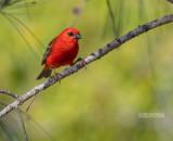 Madagaskarwever - Madagascar Red Fody - Foudia madagascariensis