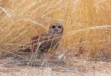 Afrikaanse Velduil - Marsh Owl - Asio capensis hova