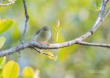 Groene Jery - Green Jery - Neomixis viridis viridis