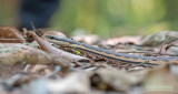 Eastern Rainforest Smooth Snake - liopholidophis dolicocercus