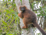 Roodbuikmaki - Red-bellied lemur - Eulemur rubriventer