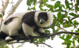 Bonte Maki - Black-and-white ruffed lemur - Varecia variegata