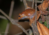 Madagascar Bright-eyed Frog - Boophis madagascariensis