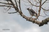Madagaskarhavik - Henst's Goshawk - Accipiter henstii