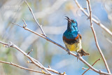 Souimangahoningzuiger - Souimanga Sunbird - Cinnyris sovimanga apolis