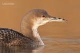 Parelduiker - Black-throated Loon - Gavia arctica