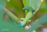 Pauwoogdaggekko - Peacock Day Gecko - Phelsuma quadriocellata