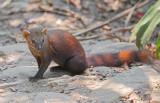 Ringstaartmangoest - Ring-tailed Vontsira - Galidia elegans
