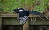 Ekster - Black-billed magpie - Pica pica