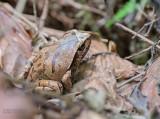 Mahanoro Tree-hole Frog - Plethodontohyla notosticta
