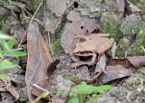 Madagascar jumping frog - Aglyptodactylus madagascariensis