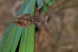 Rough Bridge Frog - Gephyromantis Asper