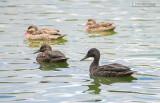 Mellers Eend - Meller's Duck - Anas melleri