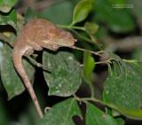 Korthoornkameleon - Shorthorned Chameleon - Calumma brevicorne