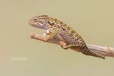 Madagaskarwoudkameleon - Jeweled Chameleon - Furcifer campani