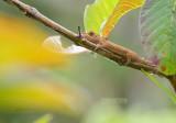 Nosehorned Chameleon - Calumma nasutum