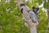 Indri - Indri - Indri indri