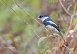 Wards Vliegenvanger - Ward's Flycatcher - Pseudobias wardi