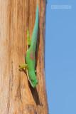 Gestreepte Daggekko - Lined Day Gecko - Phelsuma lineata