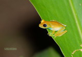 Redeyed Brighteyed Frog - Boophis Luteus