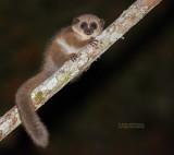 Crossley's Dwergmaki - Crossley's Dwarf Lemur - Cheirogaleus crossleyi