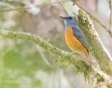 Bosrotslijster - Forest Rock-Thrush - Monticola sharpei