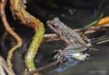 Fort Madagascar Frog - Mantidactylus femoralis